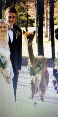 wedding alpacas for rent